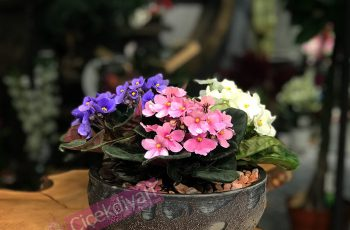 evinize-renk-katacak-4-saksi-bitkisi