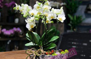 orkide-aranjmanlari-etiler