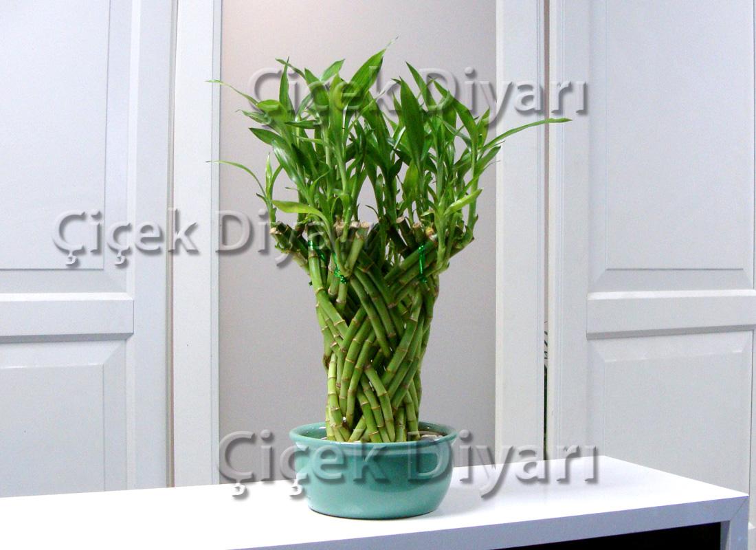 Örgülü Bambu