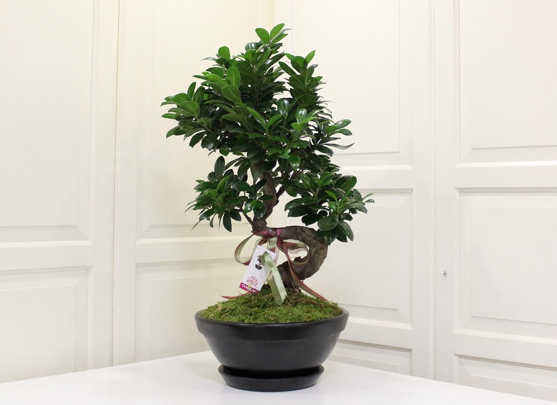 ginseng bonsai ieki ginseng bonsai iek gnder. Black Bedroom Furniture Sets. Home Design Ideas
