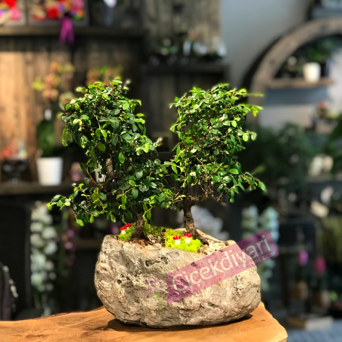 2li Zelkova Bonsai
