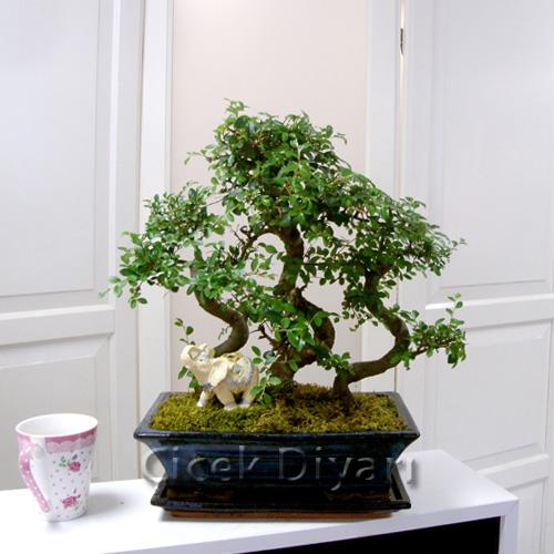 3 Köklü Zelkova Bonsai
