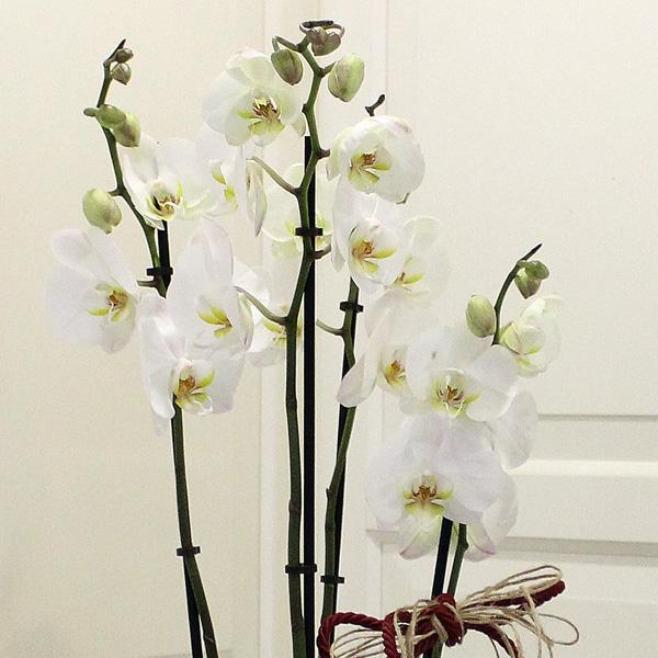 4 Dallý Orkide