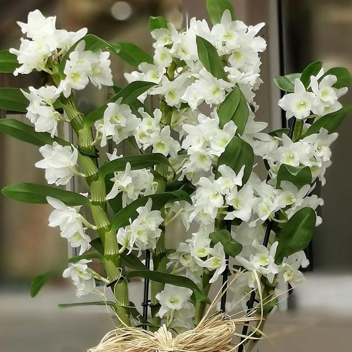 Beyaz Dendrobium Orkideler
