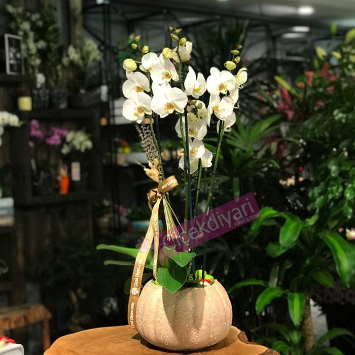 4 Dallý Beyaz Orkide
