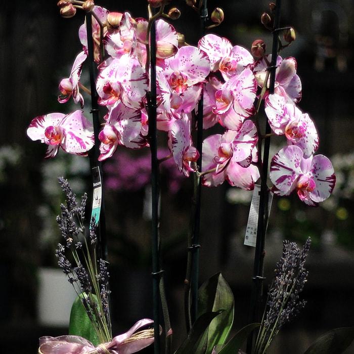 4 Dallý Magic Art Orkide