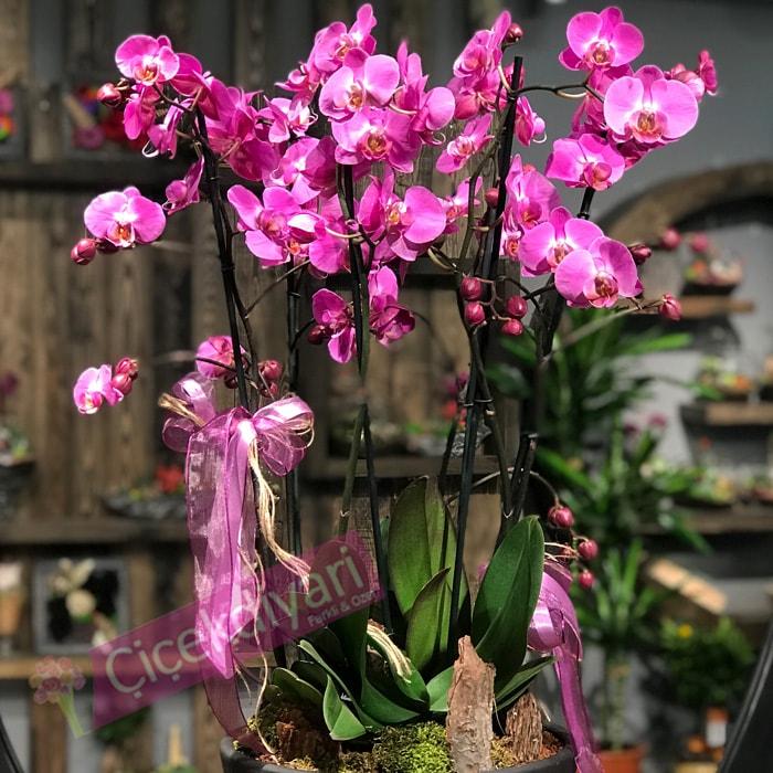6 dallý Fuþya Orkide