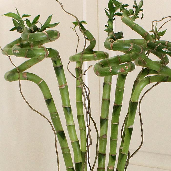 7 Luky Bambu