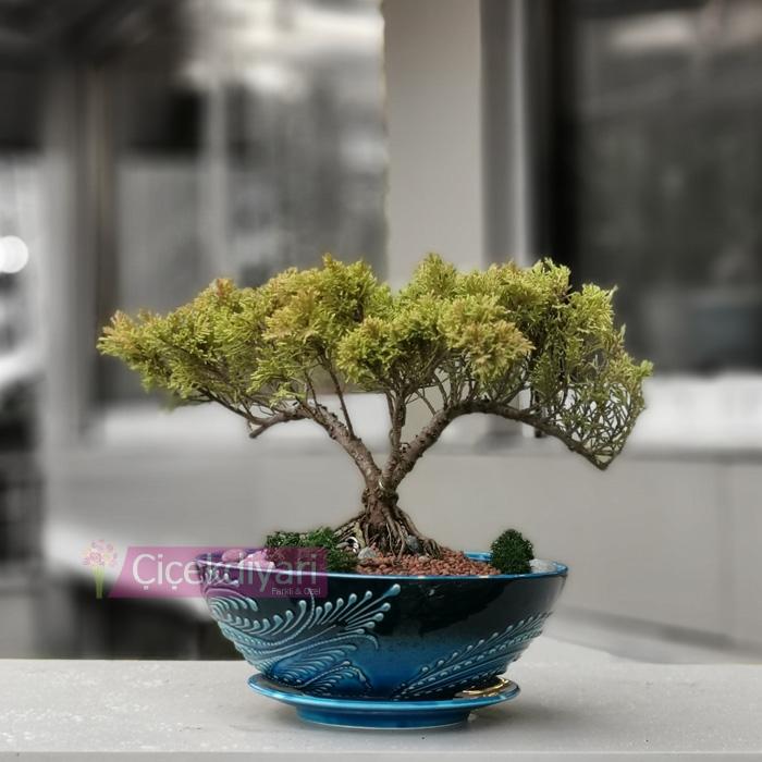 Old Juniperus Bonsai