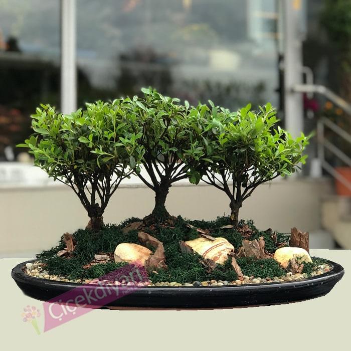 Açelya Orman Bonsai