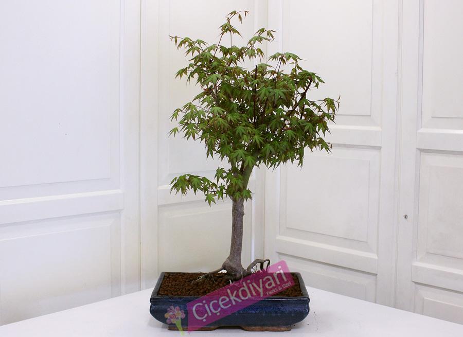 Acer Palmatum (Sango Kaku)