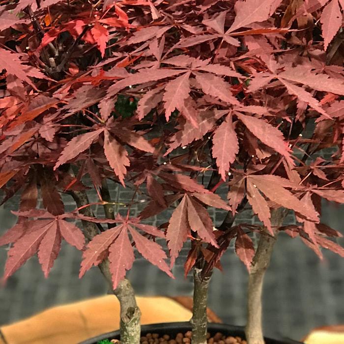 Acer Palmatum Bonsai