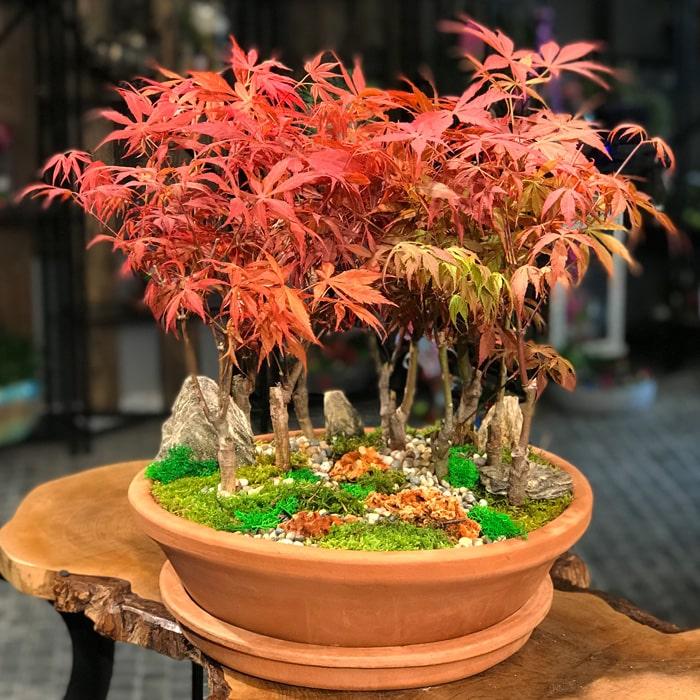 Acer Bonsai Ormaný