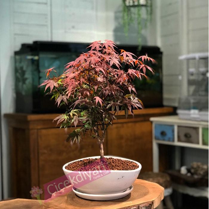 Minyatür Acer Palmatum
