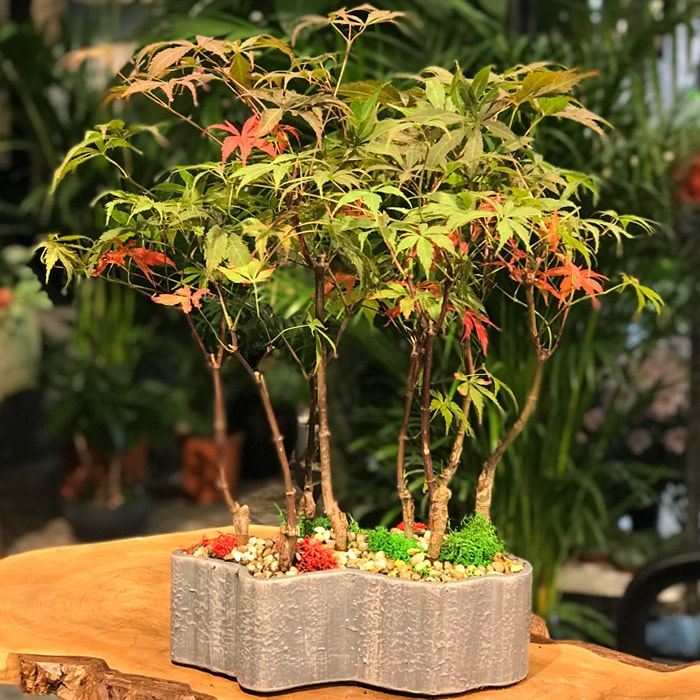 Acer Bonsai Ormaný