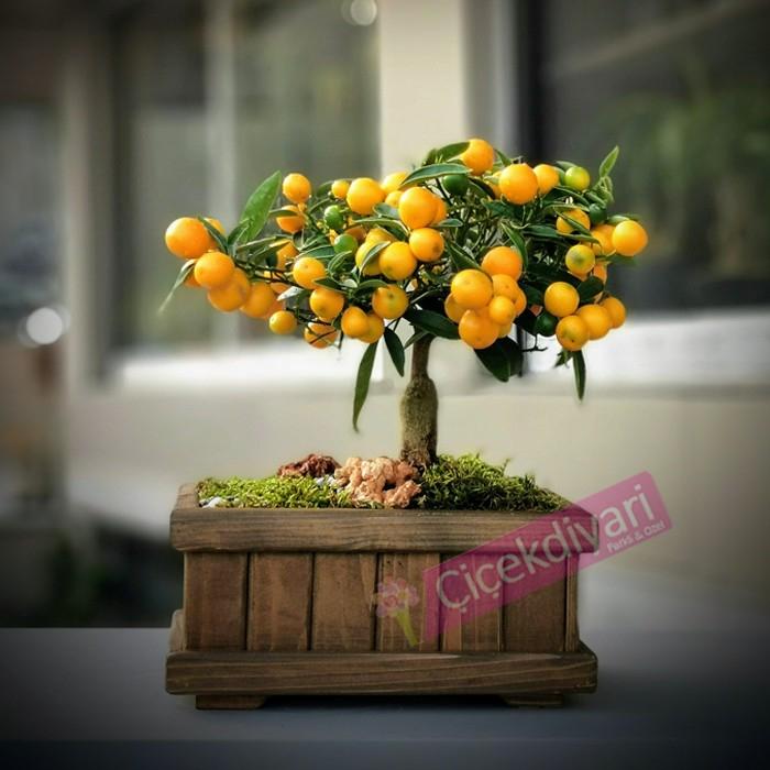 Ophelia Kumquat Bonsai