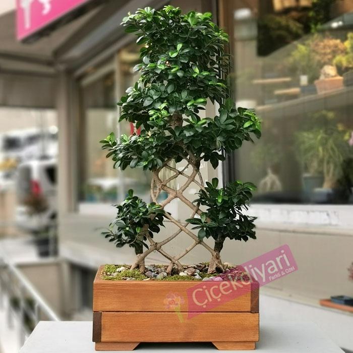 Örgülü Ginseng Bonsai