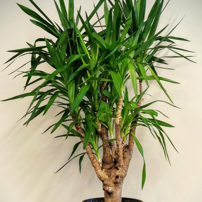 Yucca Aðacý - Avize Bitkisi