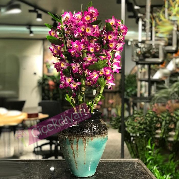 Dendrobium Orkide