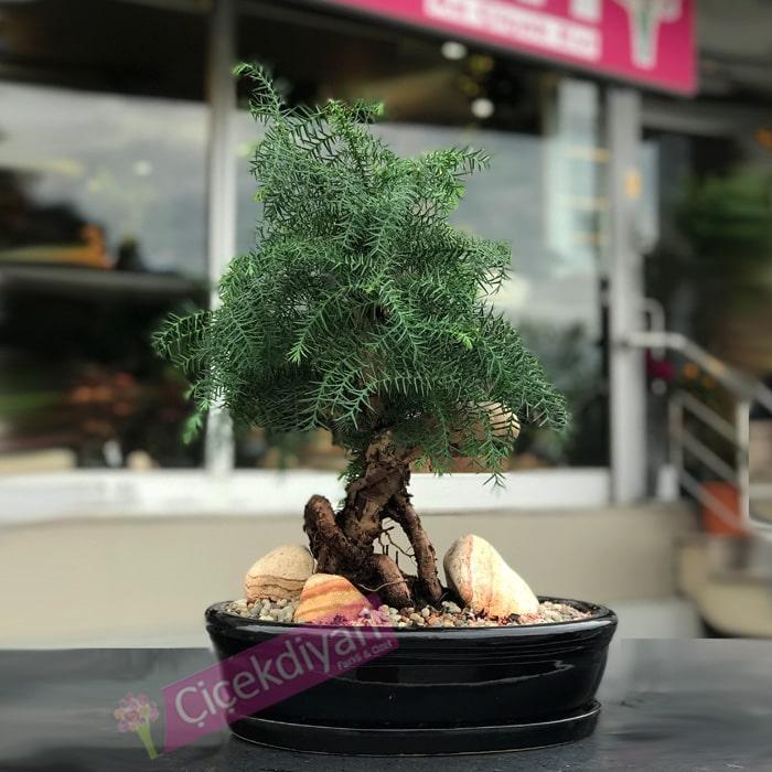 Çam Bonsai - Araucaria