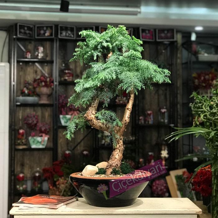 Araucaria Bonsai