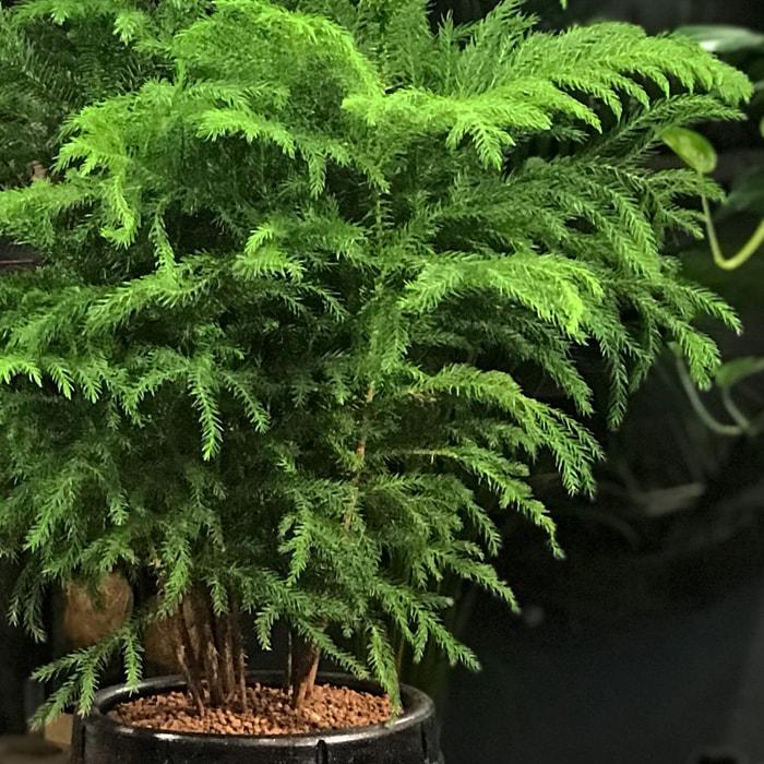 Salon Çamý (Araucaria)
