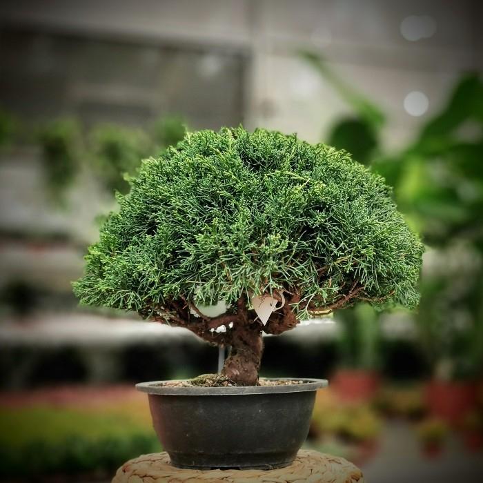 Juniperus Rigida Bonsai