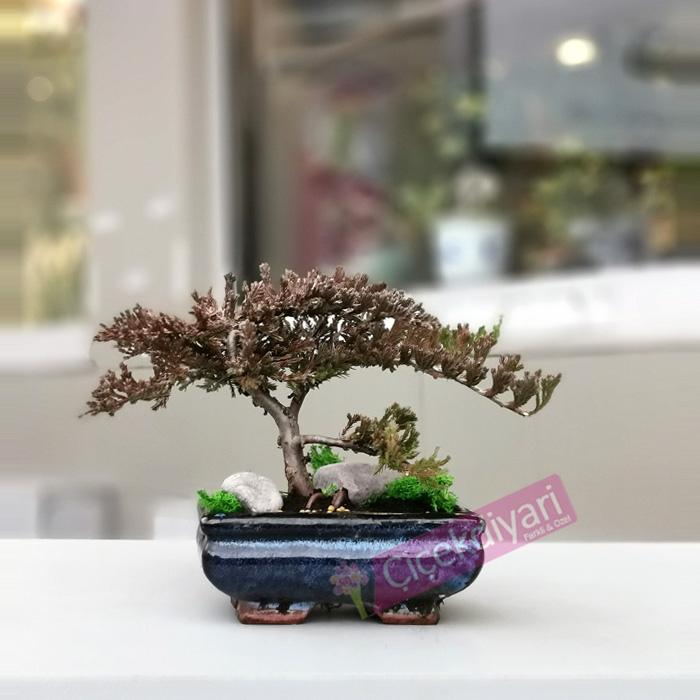 Küçük Juniperus Bonsai