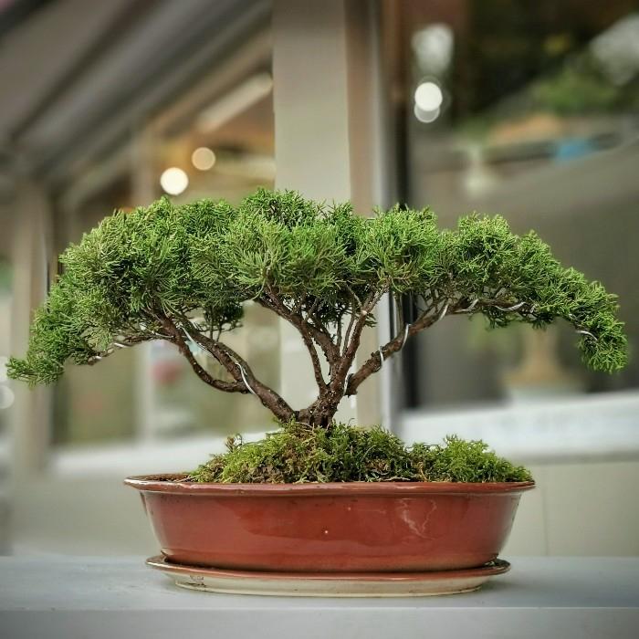 Juniperus Bonsai Umbrella
