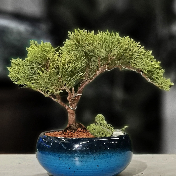 Turkuvaz Serisi Juniperus Bonsai