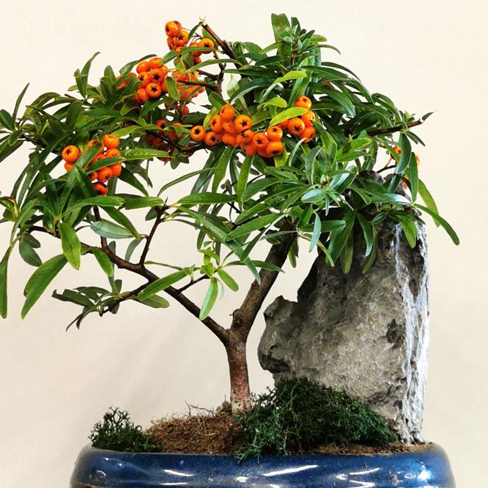 Pyracantha -Ateþ Dikeni- Bonsai