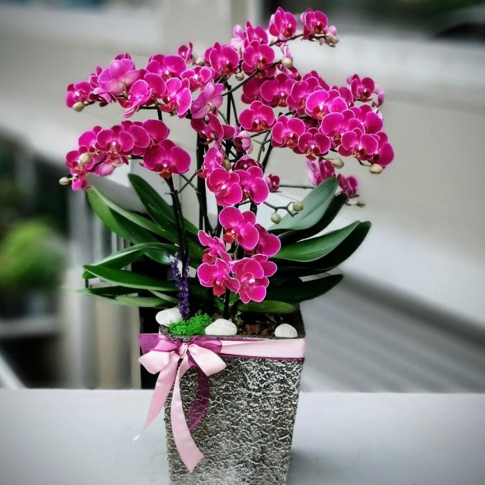Bellisimo Orkide