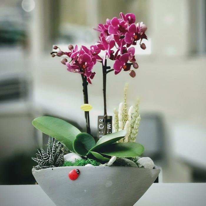 Mini Orkide ve Howartia