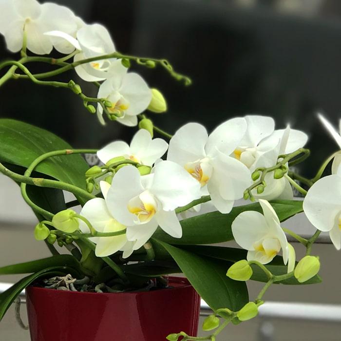 Beyaz Sarmaþýk Orkide