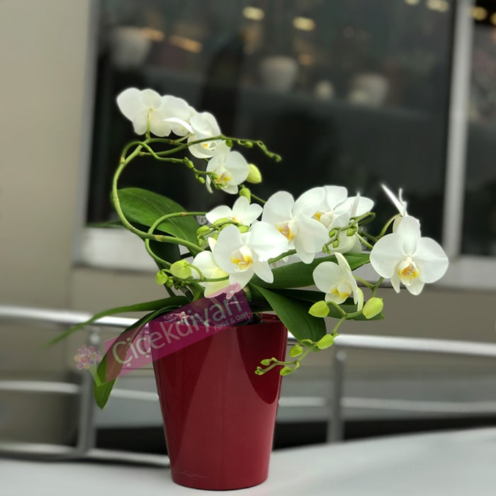 Sarmaþýk Orkide Beyaz