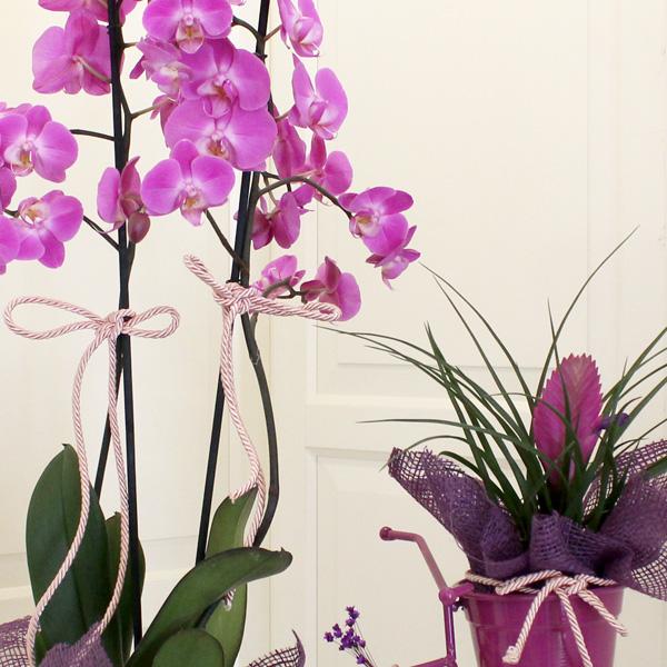 Orkide ve Tilandsia