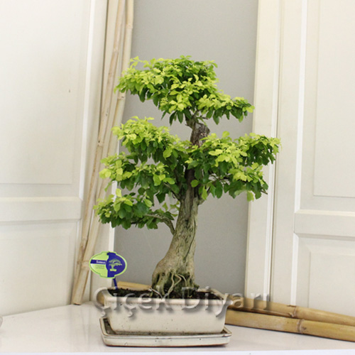 Golden Durante Repens Bonsai