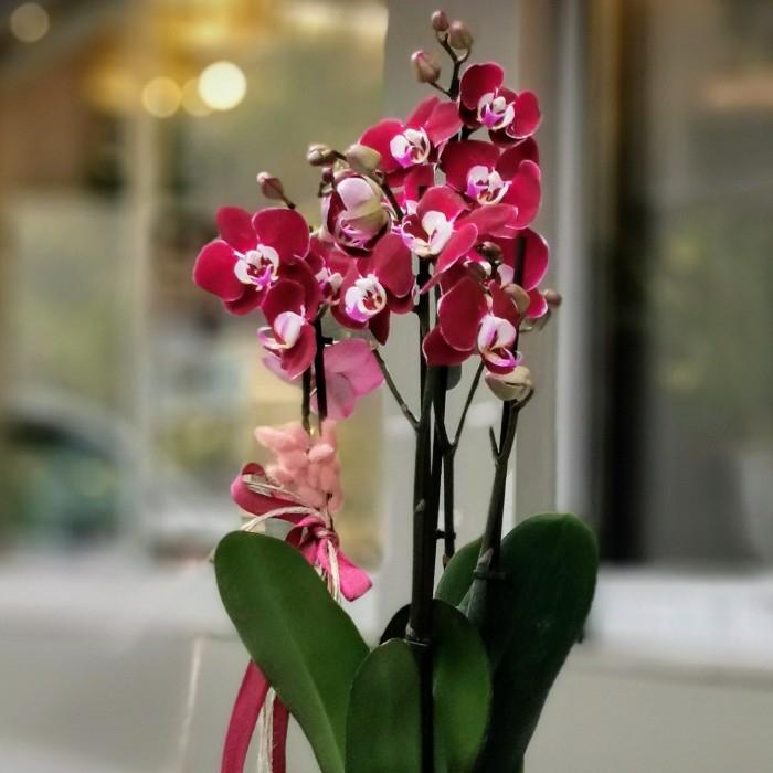 Özel Koleksiyon Bordo Orkide