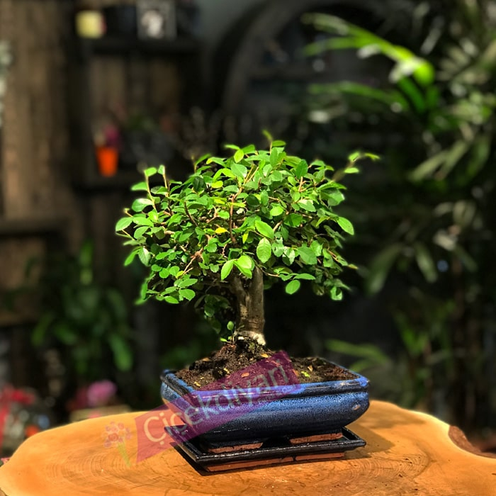 Broom Bonsai