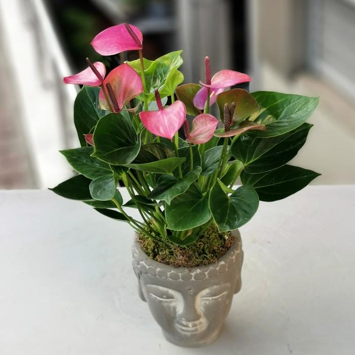Mini Anthurium Bitkisi
