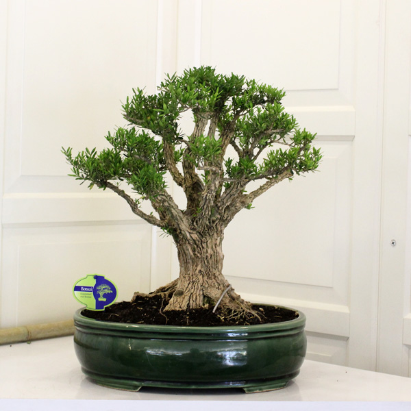 Buxus Bonsai