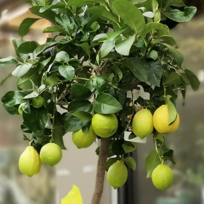 Büyük Limon Aðacý