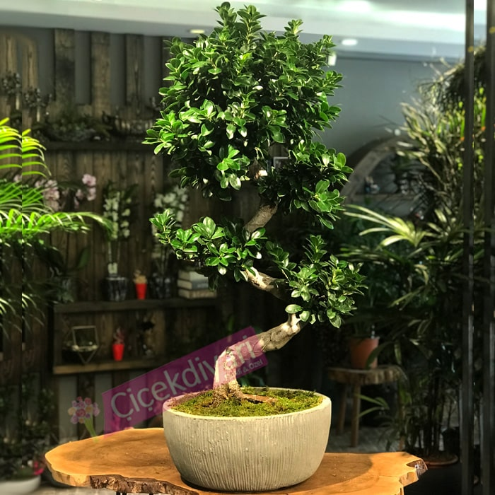 Ginseng Microcarpa Bonsai