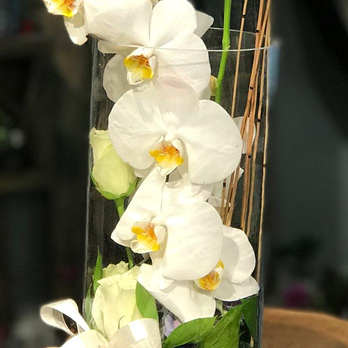 Cam Vazoda Phalaenopsis