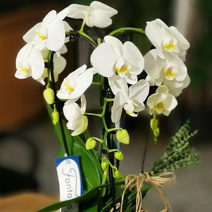 Cascade Orkide