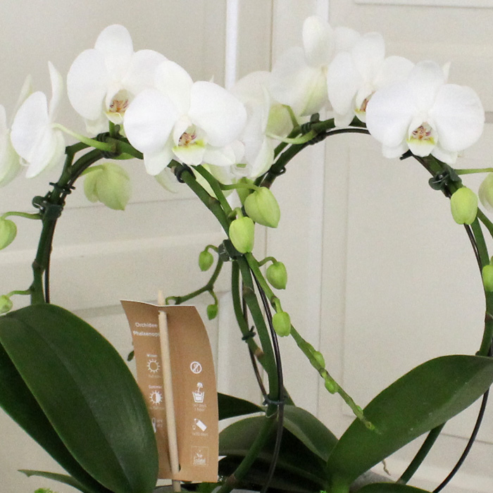 Mirror Miracle Orchids