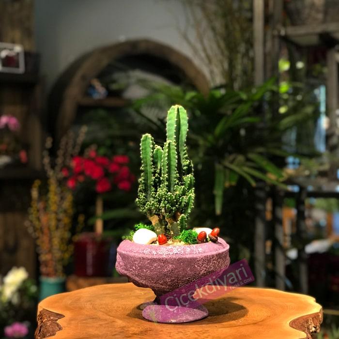 Cereus Fairy Castle Kaktüs