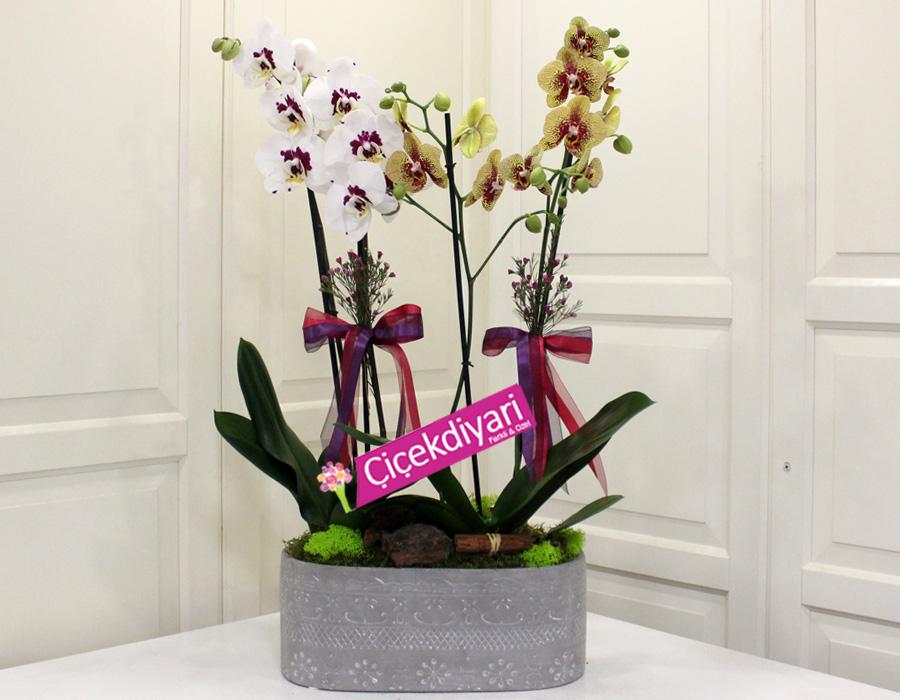 Benekli Orkideler