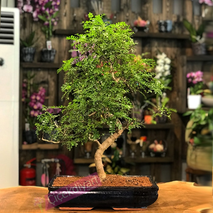 Zanthoxylum Piperitum Bonsai