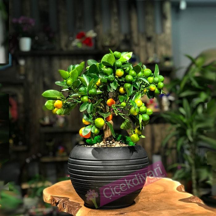 Mandalina (Citrus)
